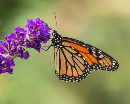 butterfly-3110239_640